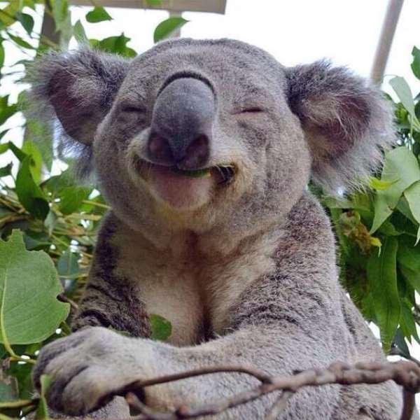 Imágenes graciosas koala